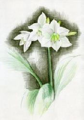 cvetik.JPG
